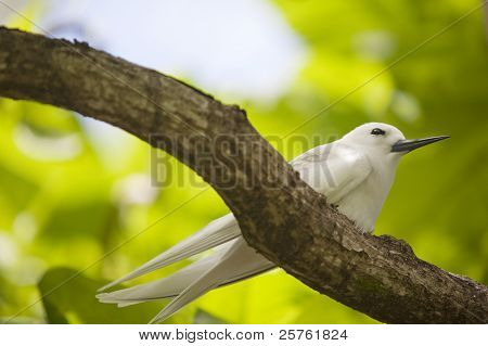 Fairy tern on the branch