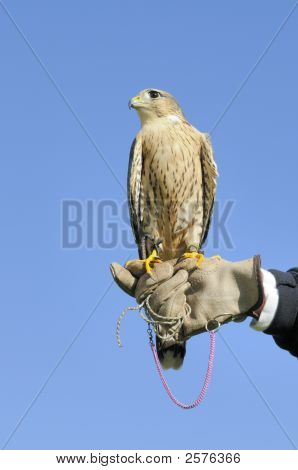 Peregrine Falcon Over Blue Sky