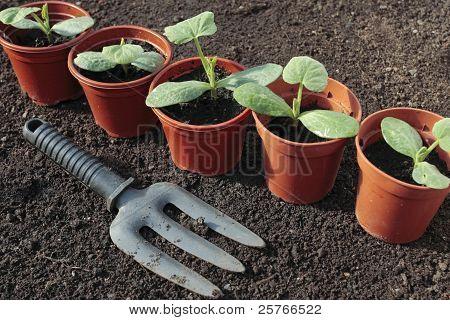 Plantando sementes vegetais em linhas de solo preparado
