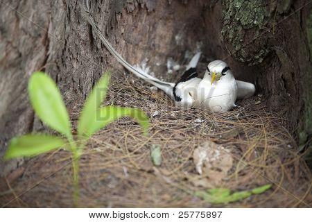 fairy tern in the nest