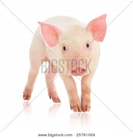 Cerdo en blanco