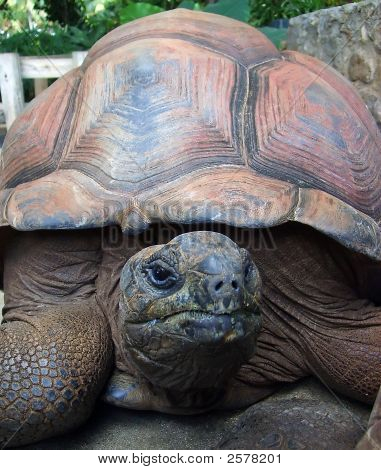 Old Turtle With Large Shell Looking At Camera