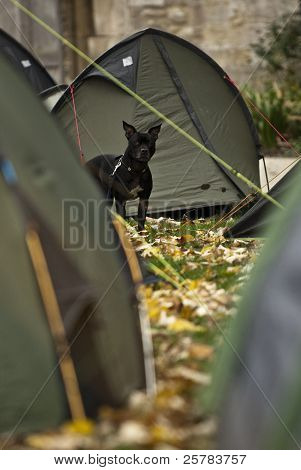Aggie the Staffordshire Bull Terrier sits outside her tent