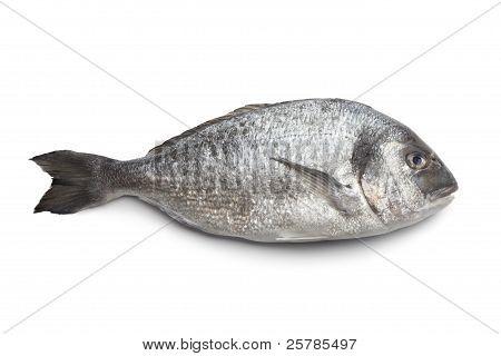 Whole Single Dorade Fish