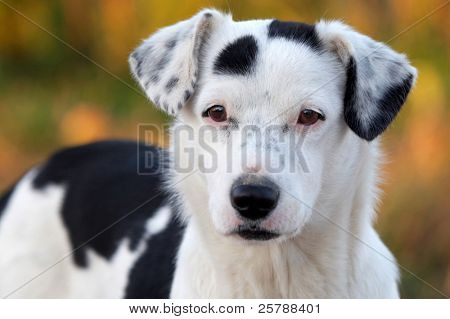 picture of a adorabe dog white with black spots - focus in the eyes -
