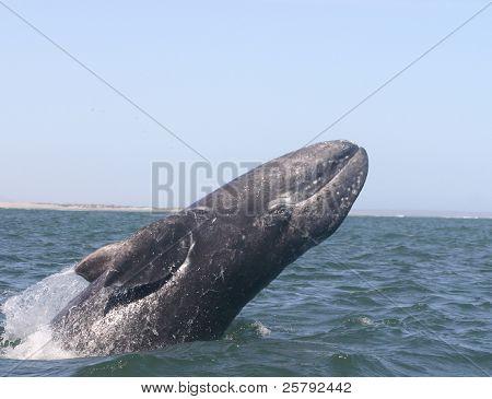A Breaching Baby Gray Whale in San Ignacio Lagoon, in Baja Mexico.