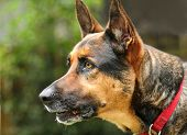 image of german shepherd dogs  - Alert German shepherd with ears perked - JPG