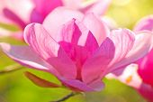 foto of japanese magnolia  - backlit delicate blossom of japanese magnolia tree - JPG