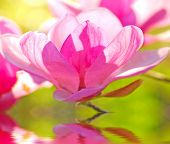 stock photo of japanese magnolia  - backlit delicate blossom of japanese magnolia tree - JPG