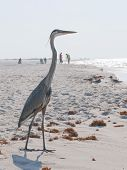 PERDIDO KEY, FL - JUNE 9:  A blue heron stands on the shores of the Gulf of Mexico as BP oil workers