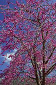 pic of judas tree  - image shows a tree full of violet flowers  - JPG