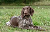 German Shorthaired Pointer, German Kurtshaar One Spotted Puppy  Lying On Green Grass, Looking Straig poster