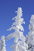 Ice Covered Tree With Blue Sky poster