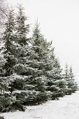 A Snowy Evergreen Tree In The Open Air. Preparation For Decorating Evergreen Trees With Christmas De poster