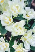 A Lot Of White Tulips With Yellow Pestles, A White Tulip With A Yellow Center, A Meadow With White T poster