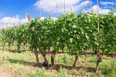 Growing Grapes In Italy. Piedmont Region Near Alba. Varietal Grapes For Obtaining High Quality Wine. poster
