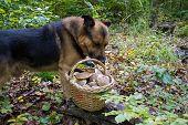 Dog Near A Basket Of Mushrooms, The Dog Sniffs A Basket Of Mushrooms In The Woods poster