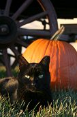 image of black cat  - A black cat lies in front of a pumpkin on a farm in autumn - JPG