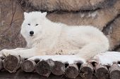Wild Arctic Wolf Is Lying On Wooden Logs. Animals In Wildlife. Polar Wolf Or White Wolf. poster