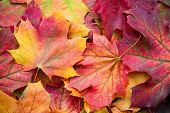 Amazing Multicolor Background Of Natural Autumn Foliage. Colorful Background Of Multicolor Leaves Wi poster