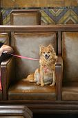 small dog on chair. Cute small dog relaxes on a brown leather chair and smiles. poster