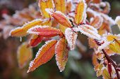 stock photo of cherry trees  - frozen autumn leaves - JPG