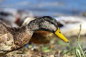 A Mallard Drake In Eclipse Plumage During A Moult poster