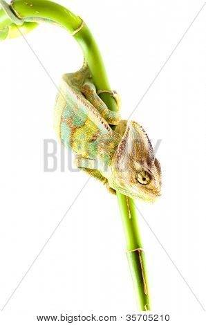 Chameleon on flower. green