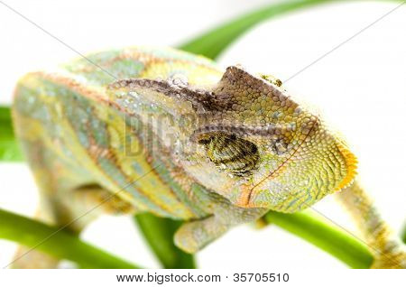 Chameleon on flower. green