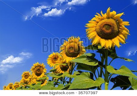 Sunflower on a sky background
