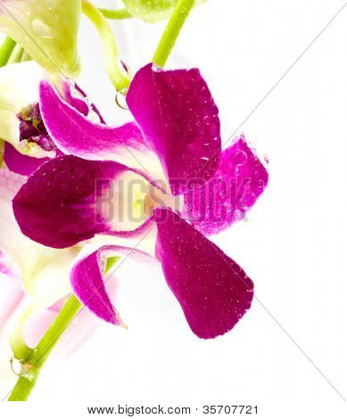 Beautiful violet flowers of an orchid