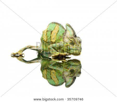 small Chameleon. Isolation on white