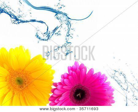 Flower Gerbera and water splash