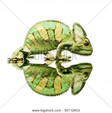 pequeño camaleón. Aislamiento en blanco