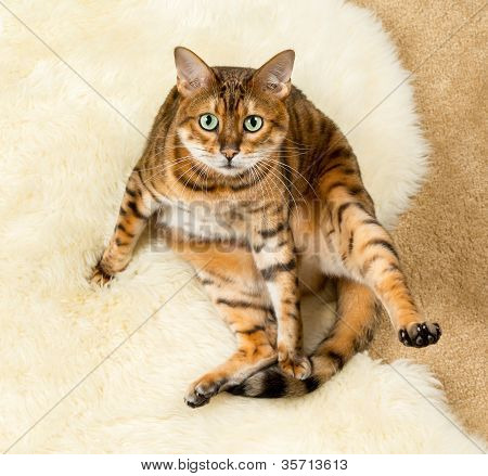 Orange Brown Bengal Cat On Wool Rug