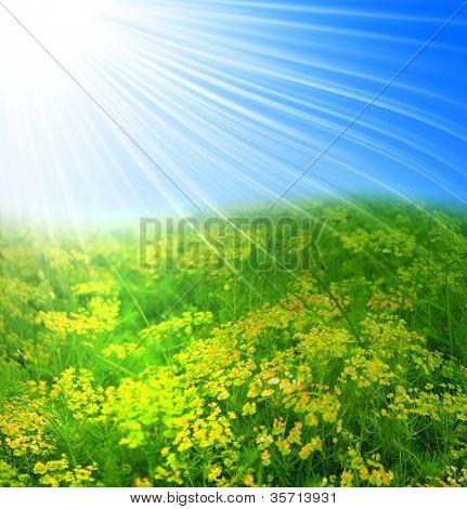 Field of yellow flower