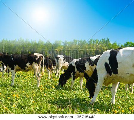 Kuh auf einer Weide mit wolkenlos blauen Himmel