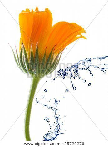 Flor de una caléndula