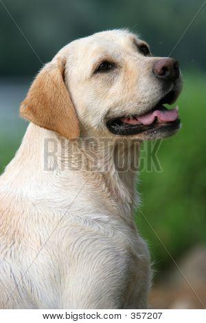 Labrador Retiever