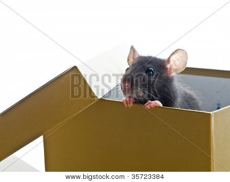 small rat. on white isolated