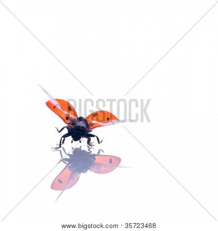red ladybug. on white isolated