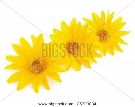 Three Yellow Flowers On  White