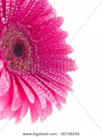 Pink gerber on water drop