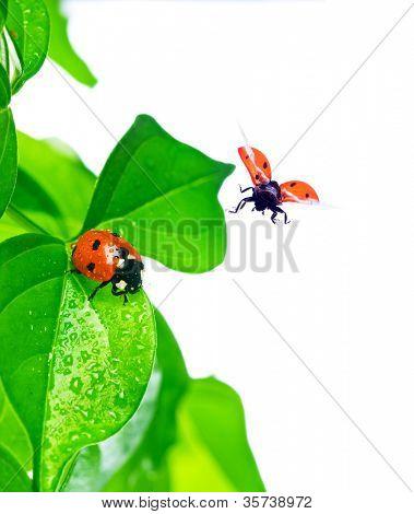 Mariquita sobre la hoja verde y gota