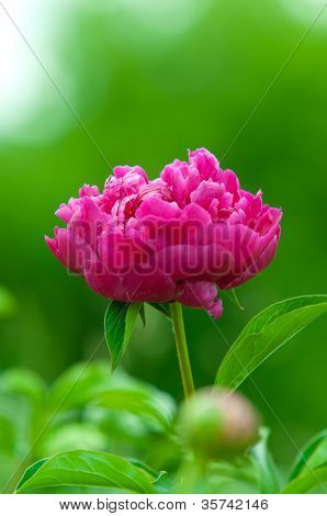 Beautiful garden of red peonies