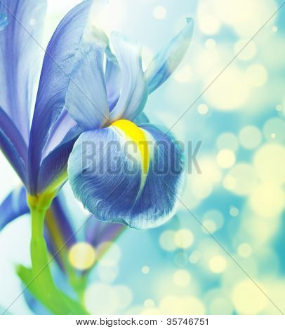 Beautiful fresh iris flowers