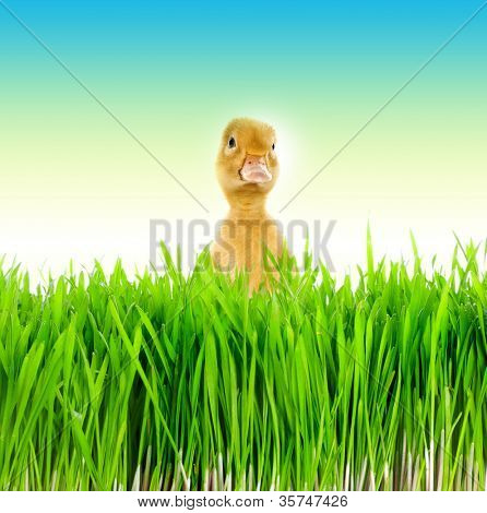 Small duckling in green grass