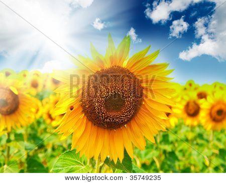 Schönen Feld von Sonnenblumen. Sommerlandschaft