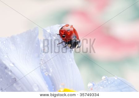 red ladybird on iris flower