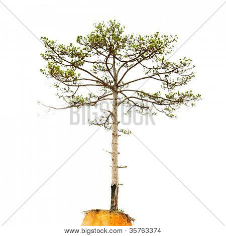 Pinetree isolated on a white background